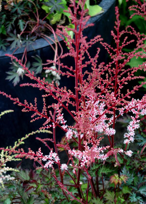 astilbe delft lace perennial