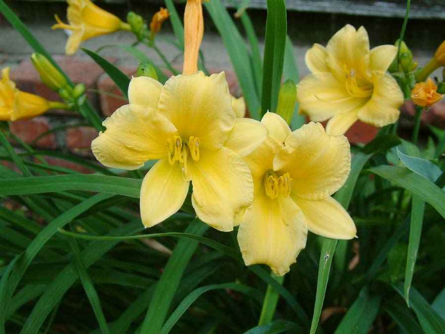 hemerocallis stella de oro perennial daylily