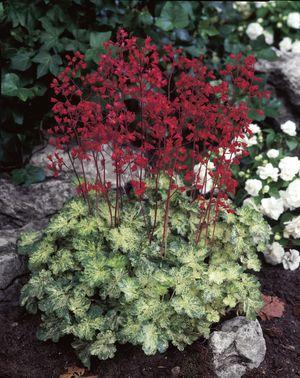 heuchera hercules perennial coral bells