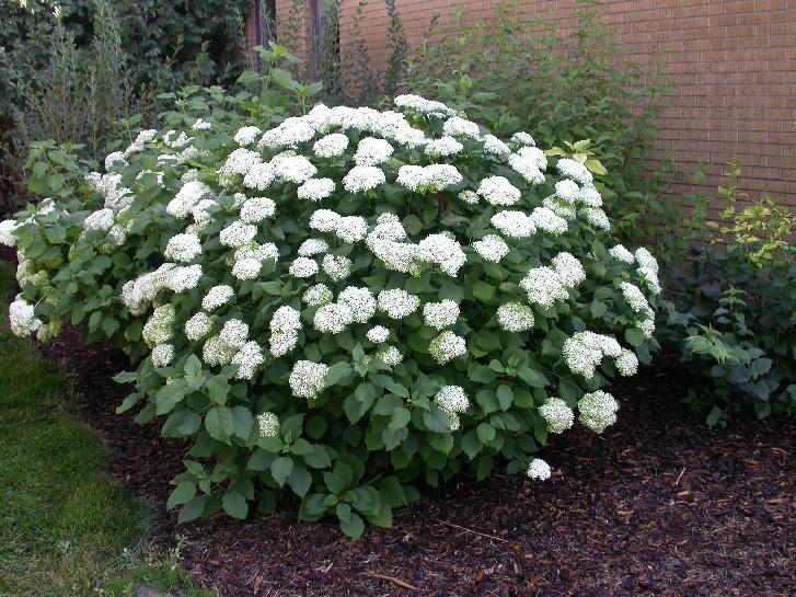 Annabelle Hydrangea Smooth shrub
