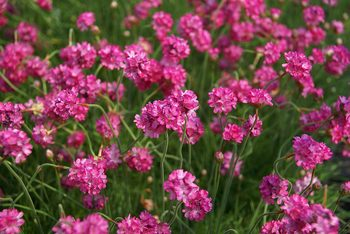 armeria bloodstone sea thrift perennial