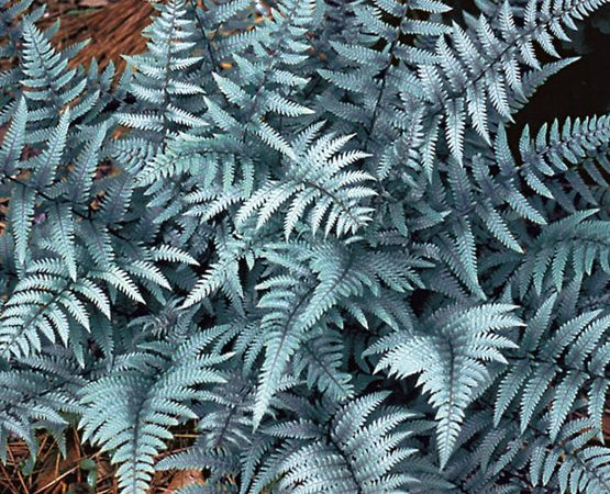 athyrium ghost fern perennial shade