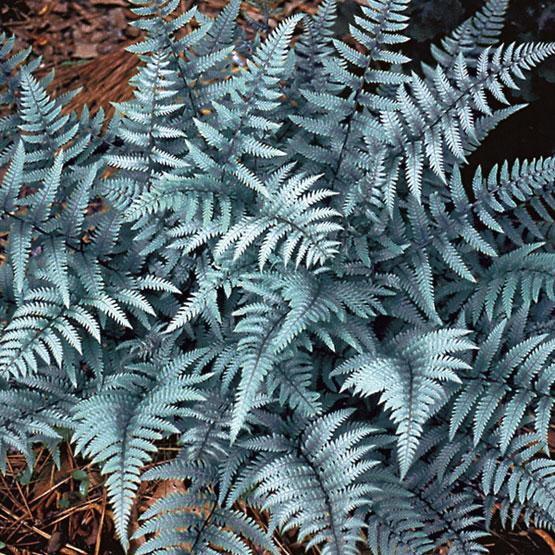 athyrium ghost fern perennial shade