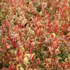 Berberis thunbergii 'Golden Ruby'