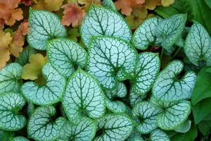 brunnera jack frost perennial siberian bugloss