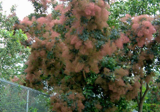cotinus grace smoke tree bush