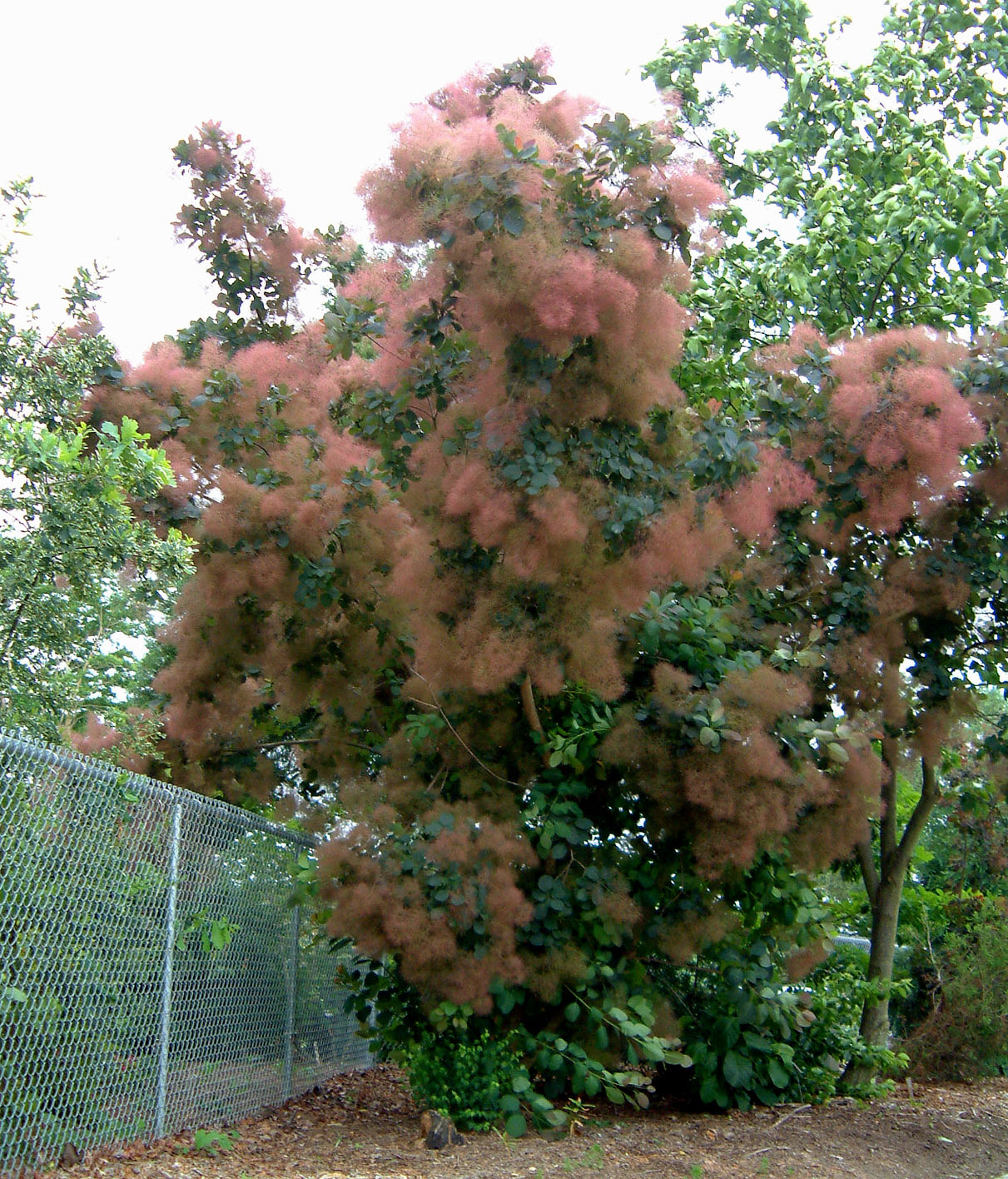 cotinus grace smoke tree bush