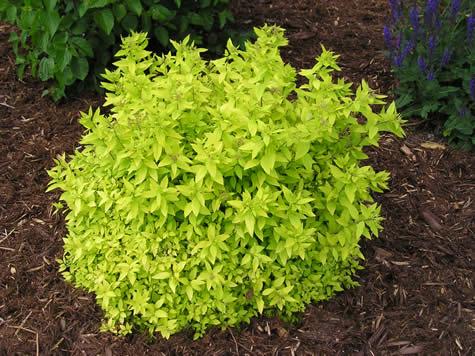 spirea spiraea goldmound shrub