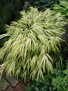hakonechloa sweet shot perennial japanese forest grass