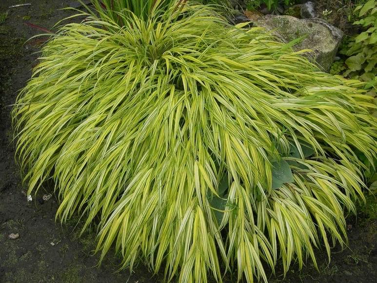 hakonechloa japanese forest grass perennial