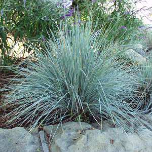 helictotricton sempervirens ornamental grass perennial
