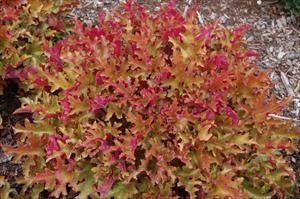 heuchera marmalade coral bells perennial