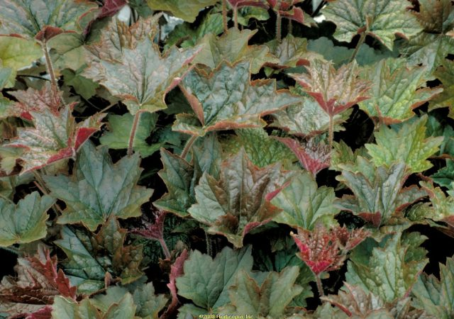 heuchera palace purple coral bells perennial