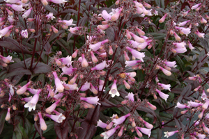 penstemon dark towers perennial beardtongue