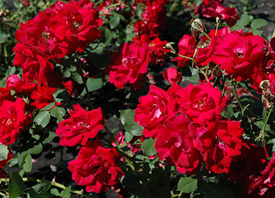 rose rosa champlain red shrub