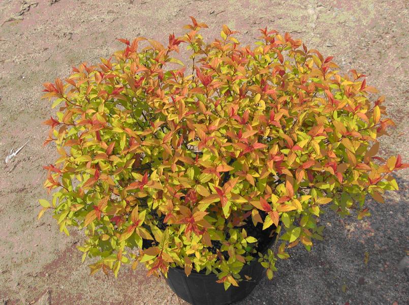 spirea spiraea goldflame shrub