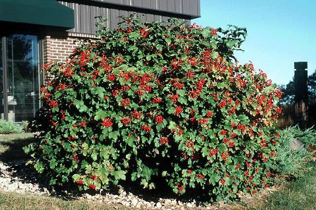 viburnum compactum shrub