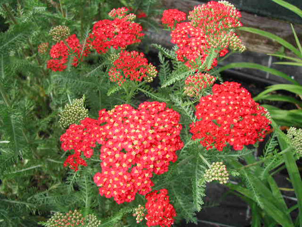 achillea paprika yarrow perennial