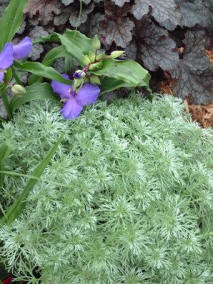 artemisia silver mound perennial