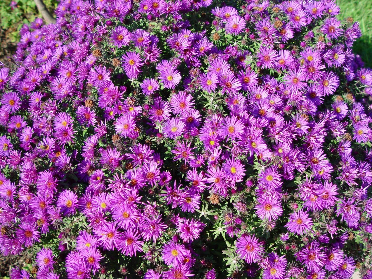 aster purple dome perennial