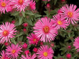 aster vibrant dome perennial