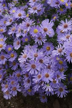 aster wood's blue perennial