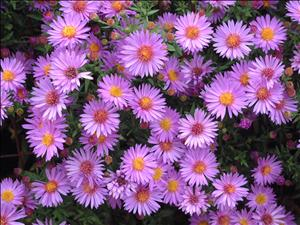 aster wood's purple perennial