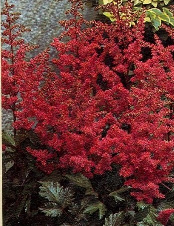 astilbe montgomery perennial