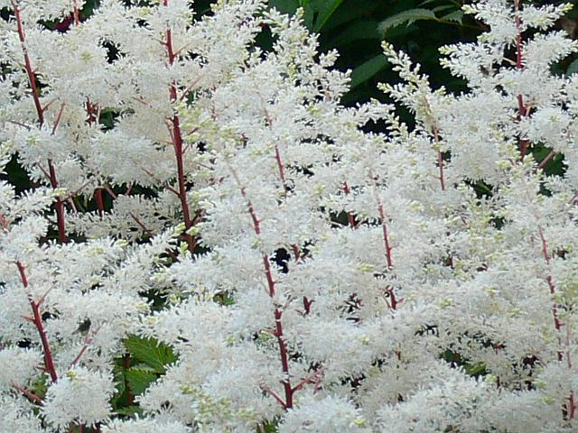 astilbe rock and roll perennial