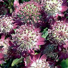 astrantia star of beauty masterwort perennial