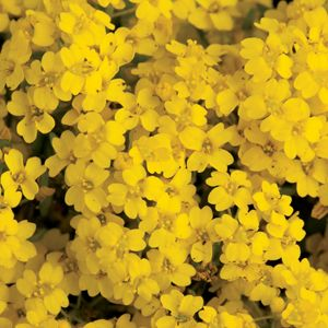aurinia summit basket of gold perennial