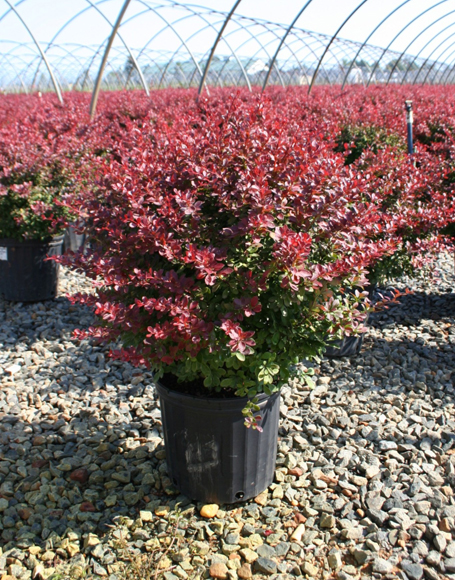 berberis crimson pygmy barberry shrub