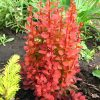 Berberis 'Orange Rocket'