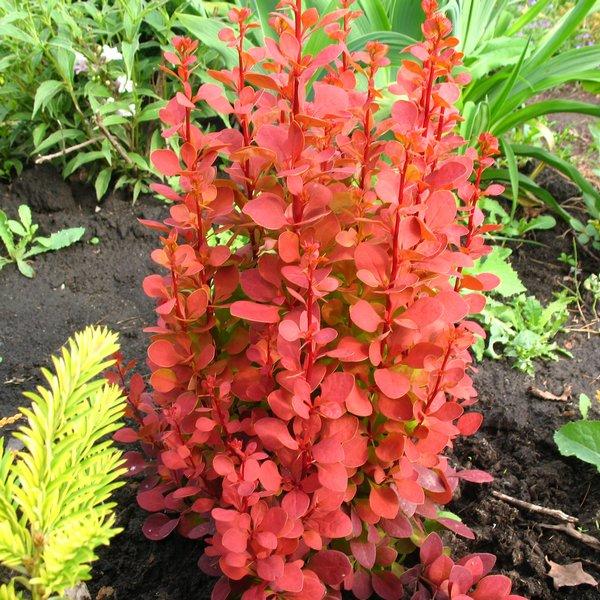 berberis orange rocket barberry shrub