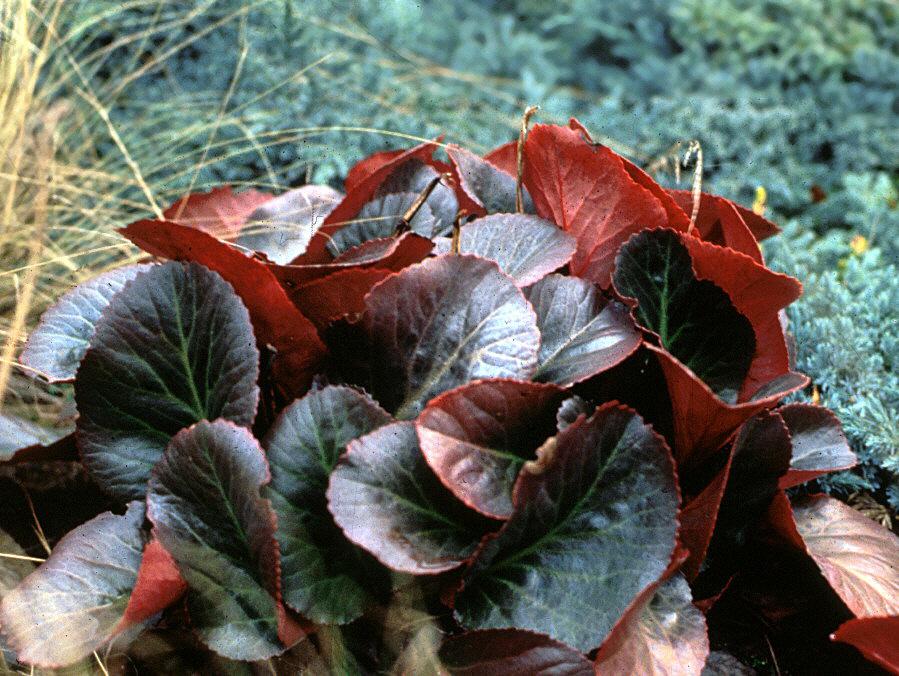 bergenia bressingham ruby pigsqueak perennial