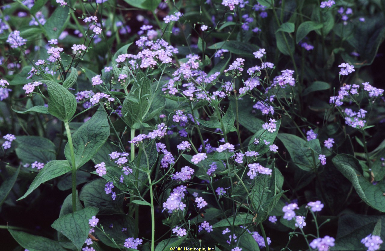 brunnera macrophylla perennial siberian bugloss