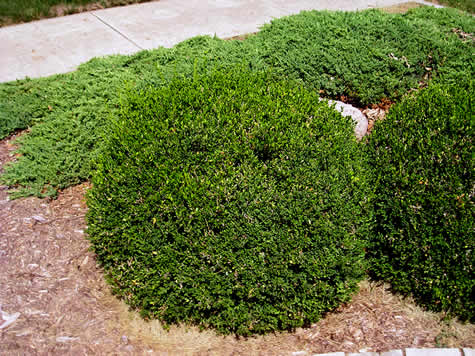 buxus green velvet boxwood shrub