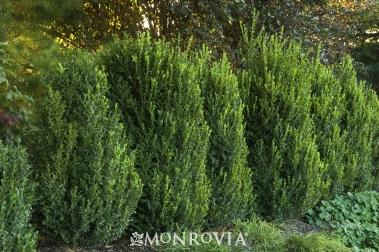 buxus green mountain boxwood shrub