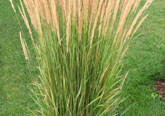 calamagrostis karl foerster feather reed grass perennial ornamental