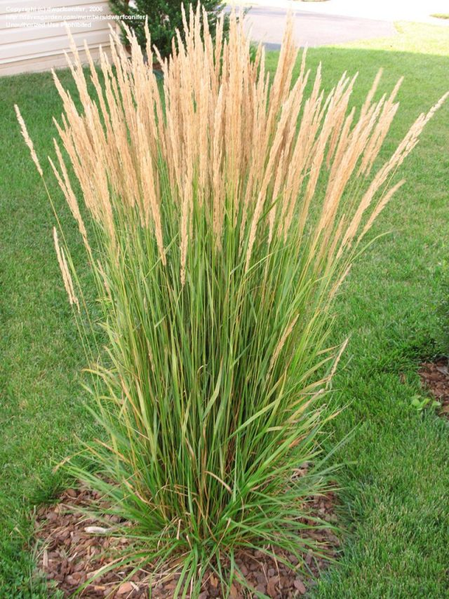 calamagrostis karl foerster feather reed grass perennial ornamental