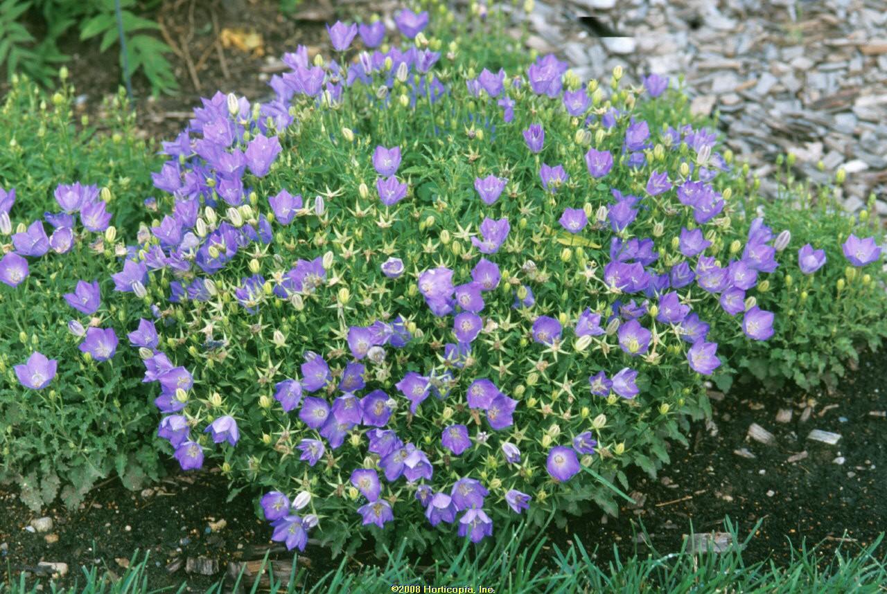 campanula blue clips bellflower perennial