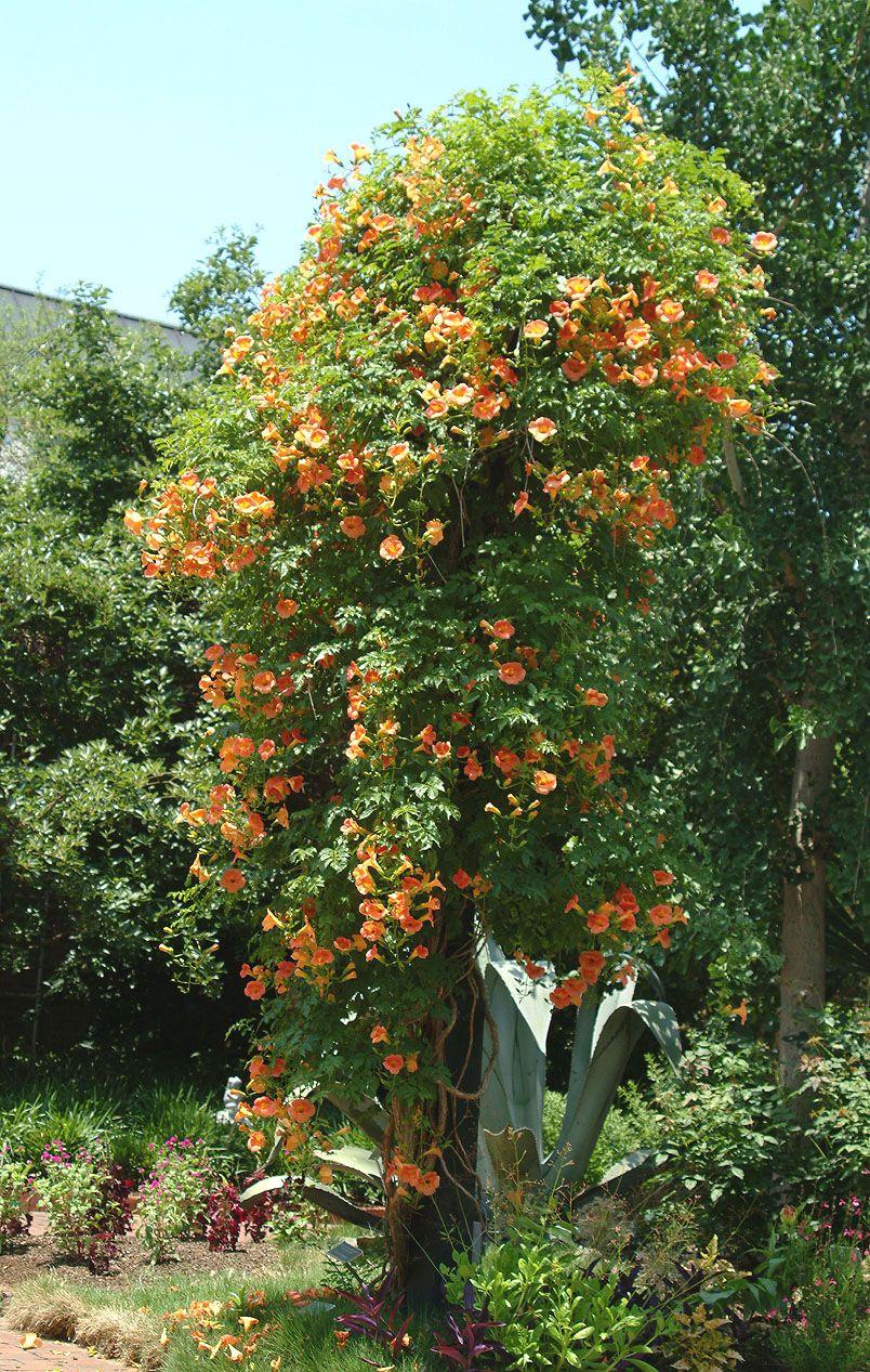 campsis radicans f. flava trumpet vine creeper
