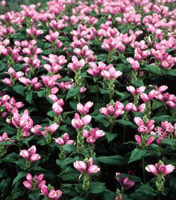 chelone hot lips turtlehead perennial