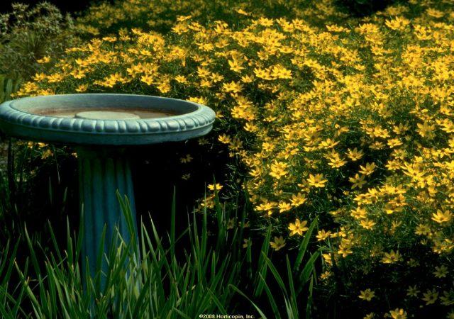 coreopsis zagreb perennial tickseed