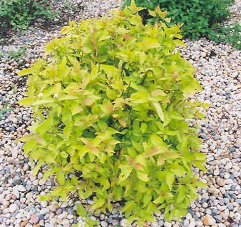cornus aurea dogwood shrub