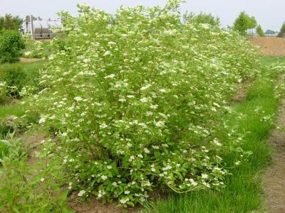 cornus cardinal dogwood shrub