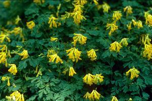 corydalis lutea yellow fumitory perennial