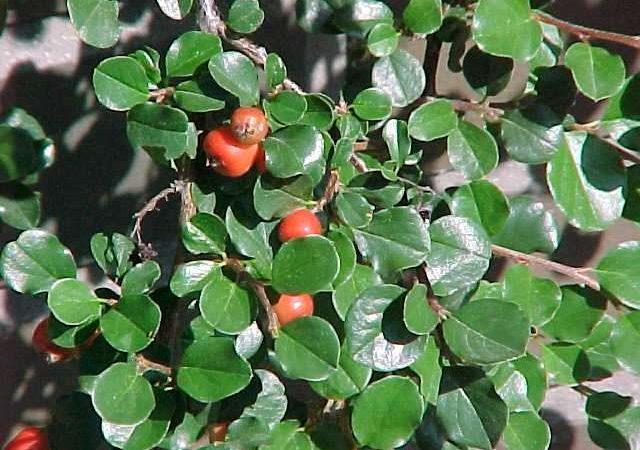 cotoneaster apiculatus cranberry shrub