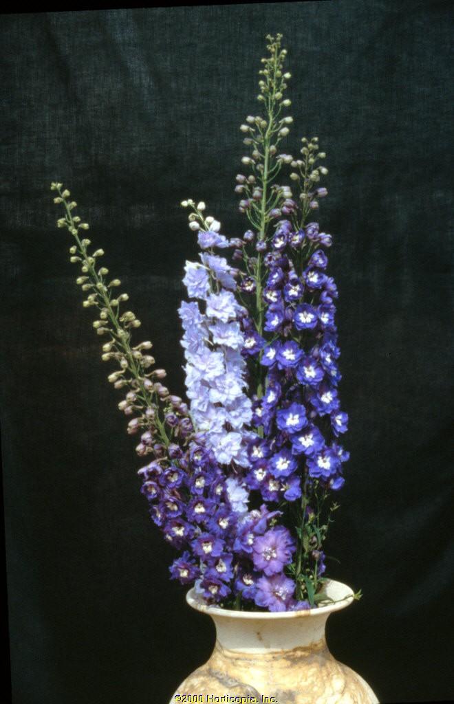 delphinium royal aspirations perennial larkspur