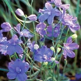 delphinium blue mirror larkspur perennial
